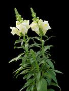 Snap dragon (Antirrhinum majus) - stock photo