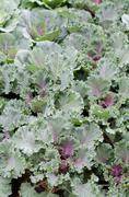 longlived cabbag (brassica hybrid cv. pule) - stock photo
