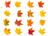 Stock Illustration of Maple leaves