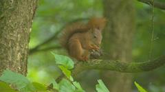 Red squirrel (sciurus vulgaris) on tree branch eats a hazelnut Stock Footage
