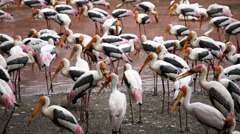 Painted Stork bird Stock Footage