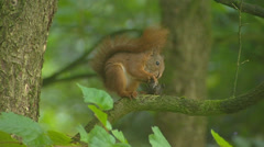 Red squirrel (sciurus vulgaris) on tree branch eats a hazelnut - on camera Stock Footage
