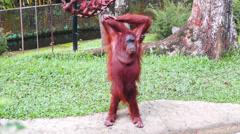 Borneo Orangutan Stock Footage