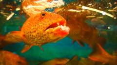 Coral Grouper Stock Footage