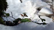 Some leaves on the snow-covered area Stock Footage