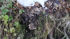 Some withered leaves with snow on top Stock Footage