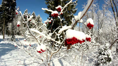 Viburnum opulus guelder rose covered with snow Stock Footage