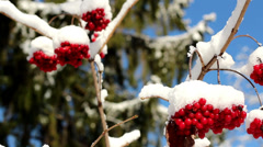 Set of viburnum opulus guelder rose covered with snow Stock Footage