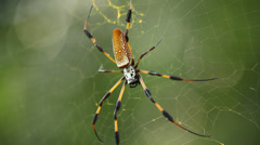 Banana Spider-Golden Silk Orb - Static Close up Stock Footage