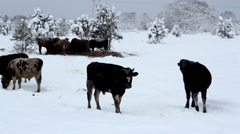 Lots of cows standing on the snow Stock Footage