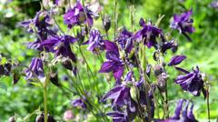 Purple columbine flower in garden Stock Footage