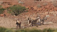 Zebra at one of the rare desert springs in the namib 5 Stock Footage