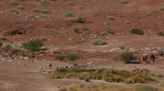 Zebra at one of the rare desert springs in the namib  7 Stock Footage