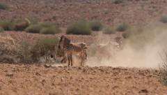 Zebra  rolling in dust hollow 10 Stock Footage