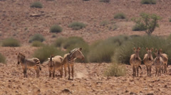 Small herd of zebra resting in heat 12 Stock Footage