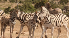 Zebra close to waterhole, nervous 13 Stock Footage