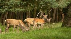 European Red Deer (cervus elaphus) hinds graze at forest edge, alert Stock Footage