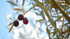 Olives in branch Stock Footage