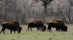 Buffalo at Wichita Wildlife Refuge - Oklahoma 3 Stock Footage