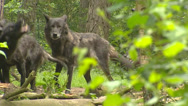 Stock Video Footage of Pack of wolves, howling - low angle