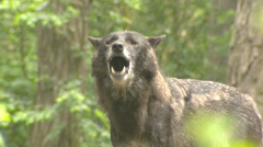 Howling wolf  (Canis lupus) - close up Stock Footage