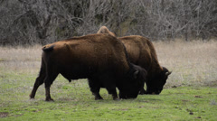 Buffalo at Wichita Wildlife Refuge - Oklahoma 2 Stock Footage