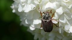 Inflorescence swings on top large cockchafer jerks head still Stock Footage