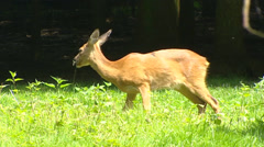 Western Roe Deer doe (capreolus capreolus) grazes at forest edge - side view Stock Footage