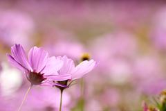 Colorful autumnal chrysanthemum Stock Photos