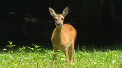 Roe Deer doe (capreolus capreolus) at forest edge - on camera Stock Footage