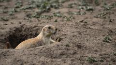 Prairie Dog - Wichita Mountains Wildlife Refuge- OK Stock Footage