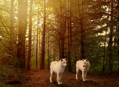 Wolves in woods Stock Photos