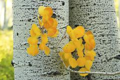 Yellow aspen leaves with aspen tree trunk, rocky mountains, colorado Stock Photos