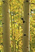 aspen trees forest, rocky mountains, colorado - stock photo