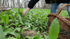 Harvesting wild garlic (Allium ursinum) Stock Footage