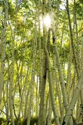 aspen trees forest, rocky mountains, colorado - stock photo