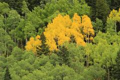 aspen trees with fall color, uncompahgre national forest, colorado - stock photo