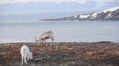 Reindeers near Barents sea. Northern Norway - stock footage
