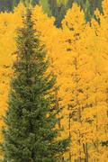Aspen trees with fall color, uncompahgre national forest, colorado Stock Photos