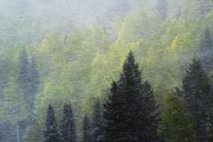pine forest in snowstorm, mount sneffels range, colorado - stock photo