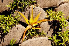 Small aloe plant growing from gap in linker brick retaining wall Stock Photos