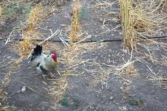 Rooster In The Garden Stock Photos