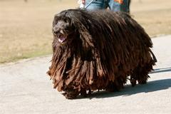 Bergamasco italian sheepdog with dreadlocks walks through park Stock Photos