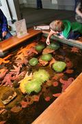 A boy discovers anemones and starfish in touching pool, Stock Photos