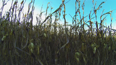 Corn Ready to Harvest 1 HD Stock Footage