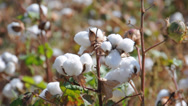 Stock Video Footage of Cotton field in Uzbekistan