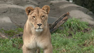 Stock Video Footage of Lioness, Lion, Stands, Stares Into Camera, Medium Shot, 4K, UHD