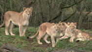 Stock Video Footage of Lioness and  Cubs