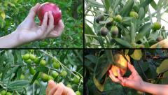 People harvesting fruits montage Stock Footage
