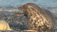 Grey seal on island Helgoland - winter Stock Footage